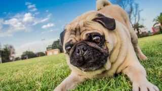 Magnas the Pug in Yarraville | Ragamuffin Pet Photography