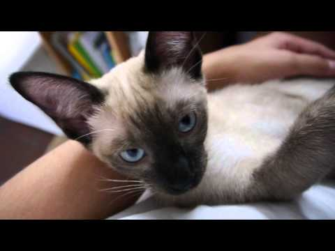 Cute and funny Siamese Kitten meowing [ASMR shorty :)]
