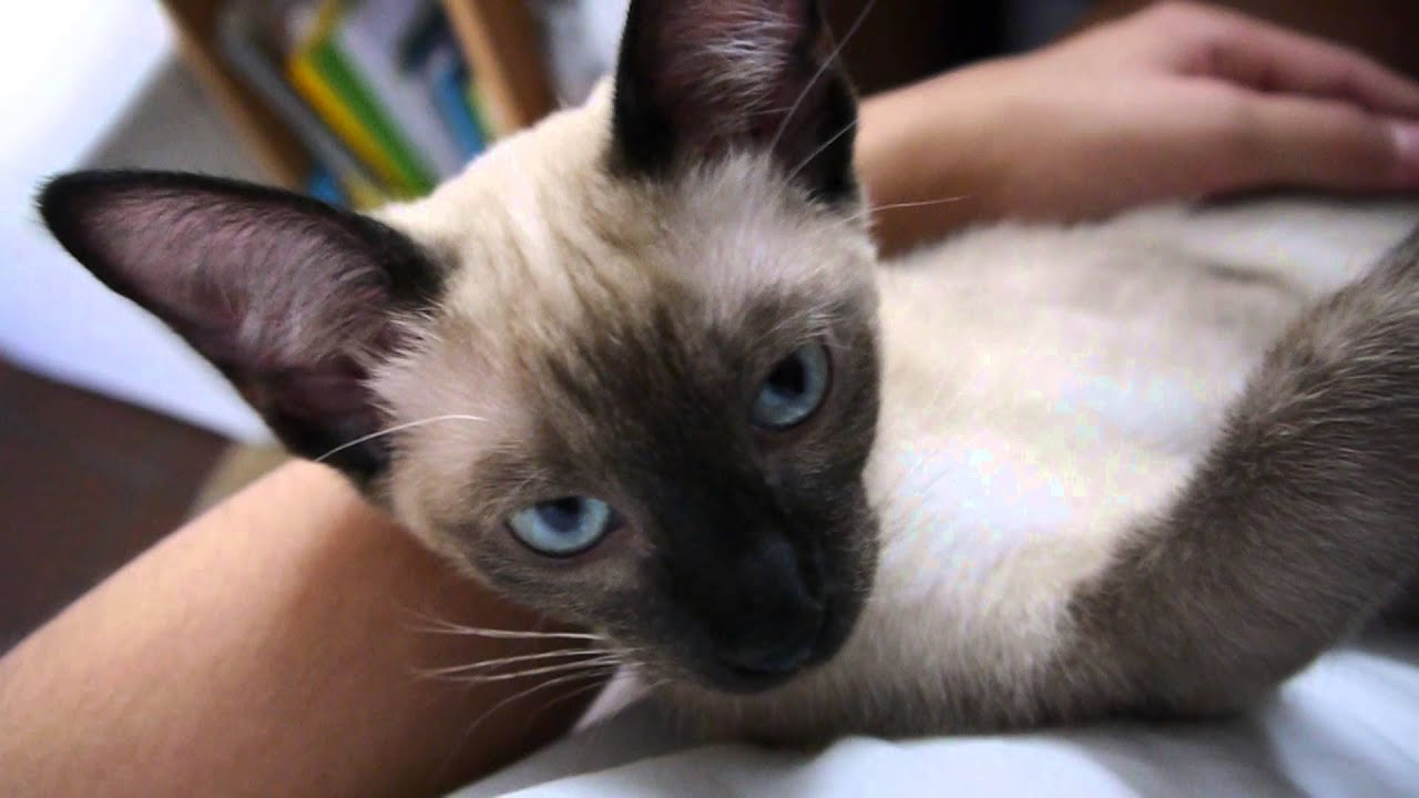 Cute and funny Siamese Kitten meowing [ASMR shorty ]