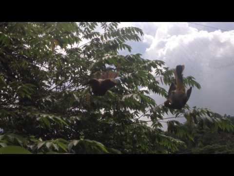 Ban lưới bay chim chao mao(0868998549)