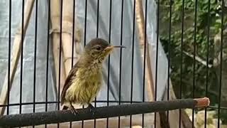 Pancingan Crecetan Kolibri Muda konin