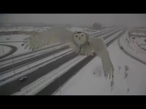 Snowy owl captured on Montreal traffic camera