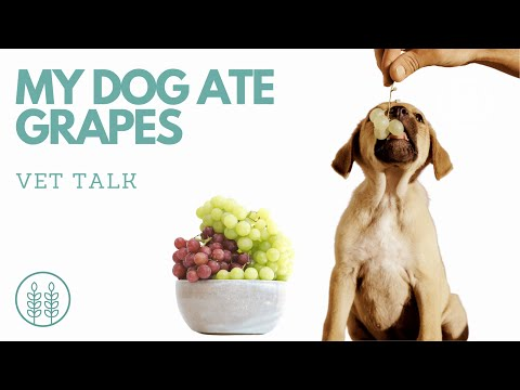 My Dog Ate Grapes. Are They Toxic?