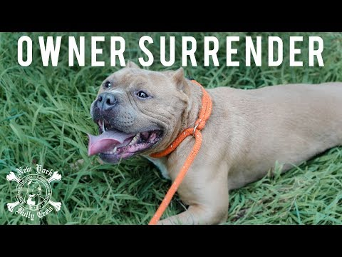 New York Bully Crew | Picking Up an Owner Surrender