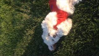 Cockapoo (cocker Spaniel Poodle Mix)