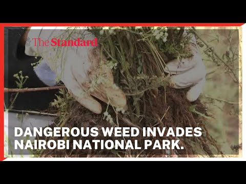 Dangerous parthenium weed invades Nairobi National Park, threatens wildlife existence