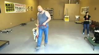 Labrador Retriever Training Surprises Owner