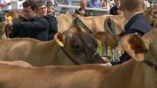 Gwartheg Jersey | Jersey Cows