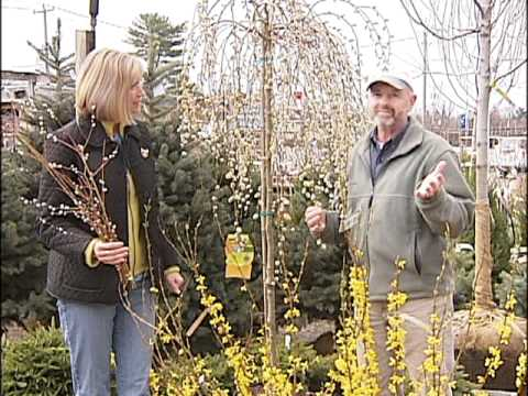 Home Gardener - Pussy Willow and Forsythia