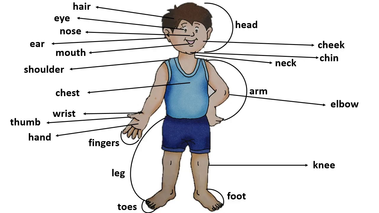 hight resolution of Parts of Body for Kids   Class 1 EVS Body Parts   Human Body Parts Names -  YouTube