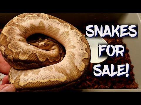 Ball Pythons For Sale!