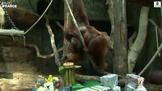 Orangutan celebrates 50th birthday with strawberry cake