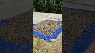 풍산게르마늄을  토양개량제로 살포하여  가꾼결과  풍성…