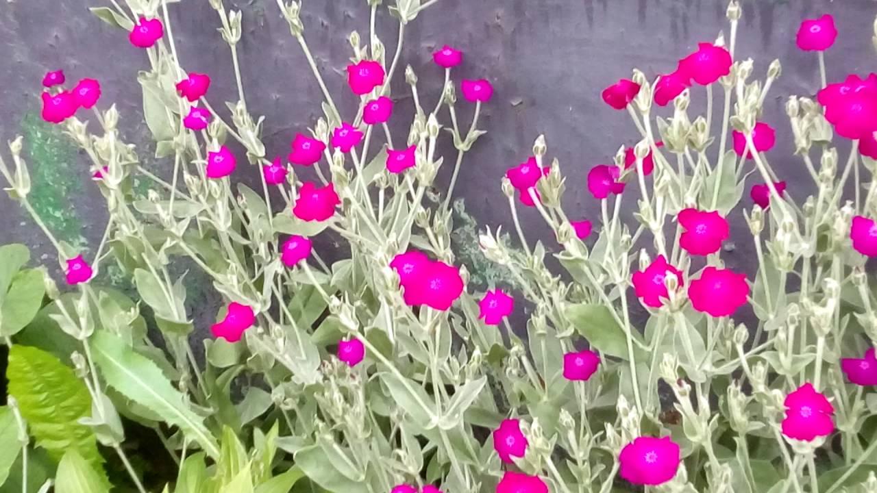 Мыльник цветок фото