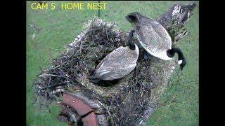 Eaglecrest Wildlife Goose Lays 1st Egg Above Barn Owl Nest 2-19-13