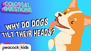 Why Do Dogs Tilt Their Head? | COLOSSAL QUESTIONS