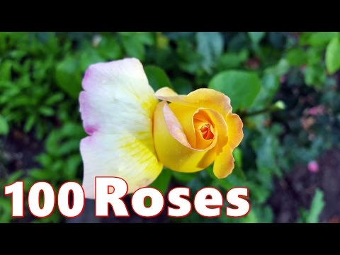 100 Beautiful Roses 🌹 4K Video With Rose Flower 🌹