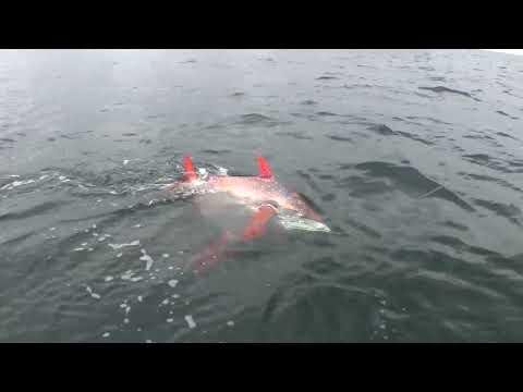 THE ORANGE FREAK CIRCLE FISH