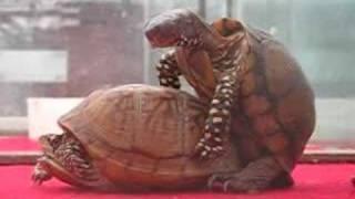 Turtle making love 2