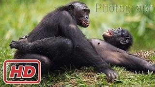 Cảnh tinh tinh giao phối - Thiên nhiên hoang dã Congo[Thế Giới]
