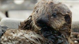Sweet Shell Smashers! - Amazing Animal Babies - Sea Otters (Ep 7) - Earth Unplugged