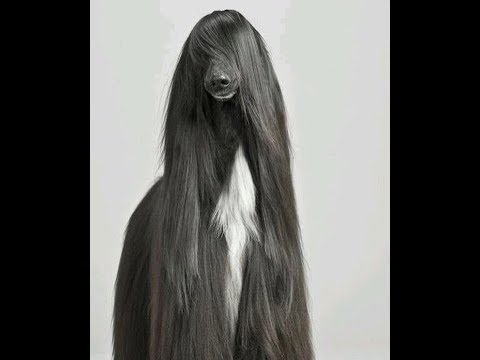 FUNNY AFGHAN HOUND DOGS 🐩 2019!