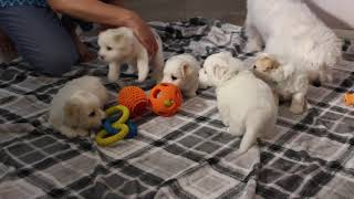 Coton Puppies For Sale - Foxy 8/3/21