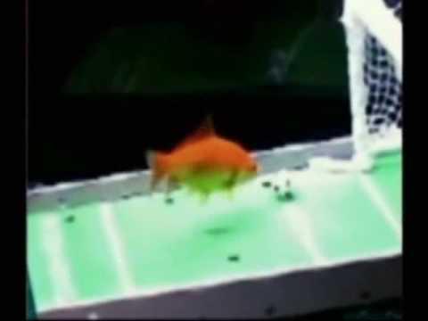 Betta fish chasing laser pointer doovi for Betta fish training
