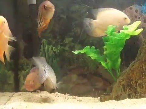 Brave jewel cichlid vs Texas cichlid fight