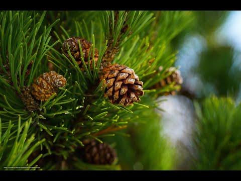 Изучаем хвойные деревья Развивающее видео для детей