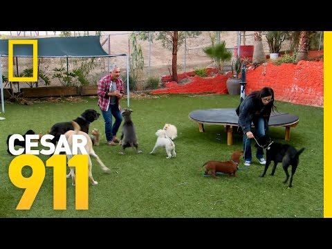 Two Dogs, One Mission   Cesar 911