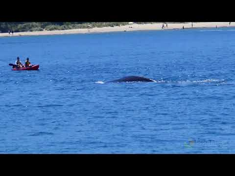 People Swim Close to Whale in Hobart's Derwent River