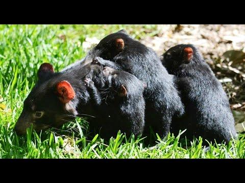 Wild Tasmania - Тасманский Дьявол и Тасманийский Филандер [Part 3]