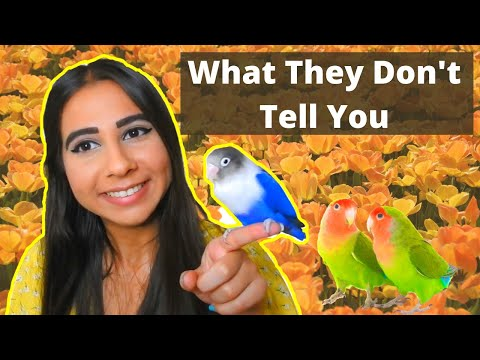 THE ULTIMATE LOVEBIRD CARE GUIDE 2020   How to Take Care of a Lovebird
