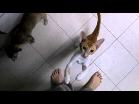My Oriental Shorthair Cats
