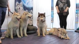 Выставка собак, Минск 2016 г.
