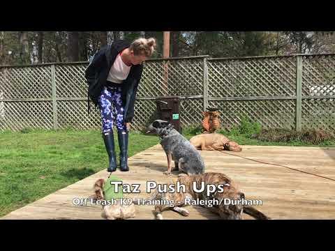 1yo Australian Cattle Dog/Blue Heeler 'Taz' Before and After - Dog Training Raleigh Durham