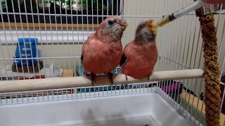 Video My new Birds! 2 Rosy Bourkes and a Scarlet Chested Parakeet download MP3, 3GP, MP4, WEBM, AVI, FLV September 2018
