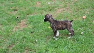 Boxer Puppies For Sale Moses Glick
