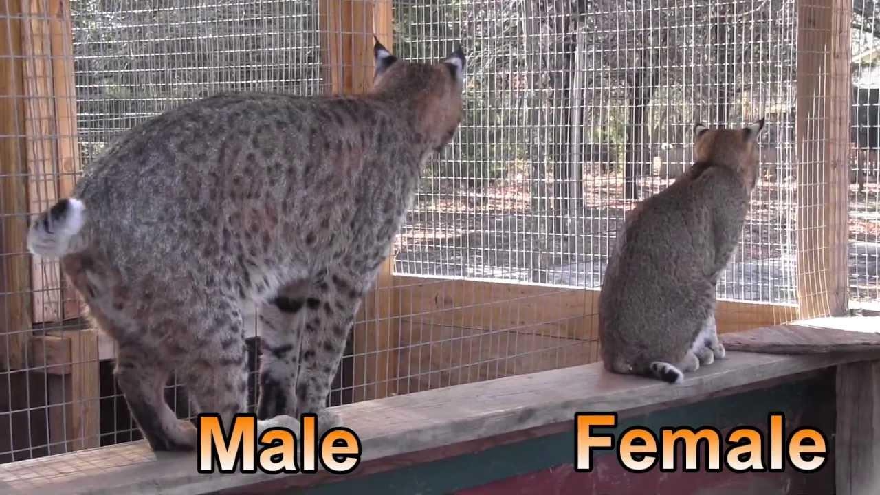 Urban Bobcats Texas Wildlife Diversity Program Youtube