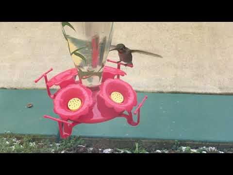 Hummingbirds Fight Over Feeder