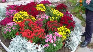 Хризантема мультифлора.  Советы по выращиванию.Буйство красок осени.