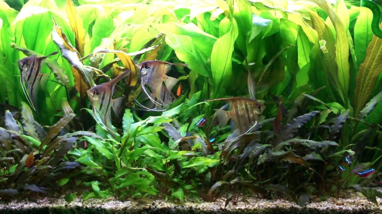 Mein skalar gesellschaftsbecken 250 liter hd youtube for Skalar aquarium