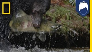 These Bears Are Picky About Their Salmon—With Good Reason | National Geographic
