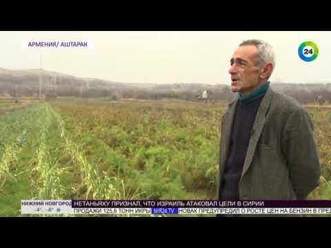 Экзотика на грядках  фермер из Армении выращивает средиземноморские травы и овощи - МИР 24