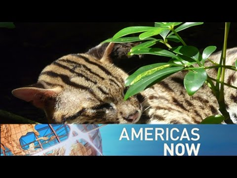 Americas Now— Wildlife traffickers; Game changer; Latinas in politics 11/28/2016