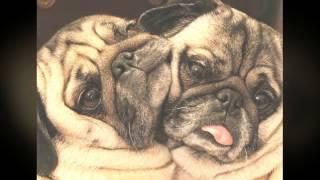 Смешные мопсы / Funny Pugs #2