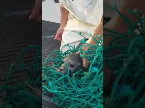 Two Maine Fishermen Rescue a Seal