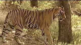 Sariska: Breeding failure leaves lot to be desired