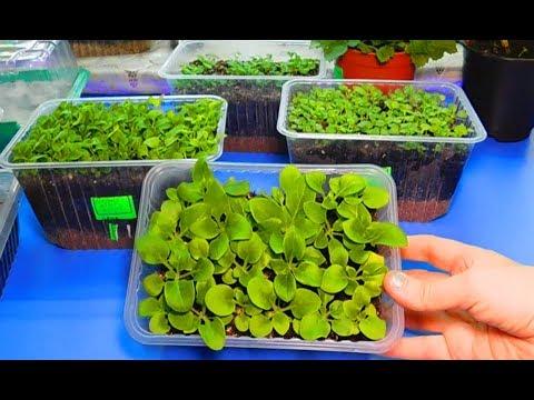 РАССАДА ШТОК РОЗЫ ВЫРАЩИВАНИЕ ПИКИРОВКА !! Выращивание из семян .